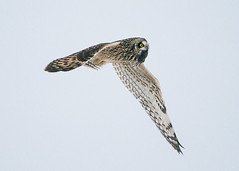 Short-eared Owl carrying a vole (Thomas Muir) Tags: asioflammeus tommuir hunting woodcounty bowlinggreen ohio winter migration nikon d800 600mm midwest animal raptor vole eating bird birdwatching day outdoor nature flying prey predator