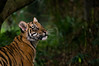 Tiger Cub (BenKing18) Tags: tiger sumatrantiger tigercub londonzoo big cat