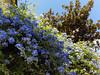 Little corners in Guimaraes - Portugal (ShambLady) Tags: blue purple flowers shrub green sunshine guimaraes portugal 2017 260717 minho braga north plumbago auriculata jazmín del cielo mannentrouw