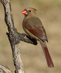 Northern Cardinal, female (AllHarts) Tags: femalenortherncardinal backyardbirds memphistn naturesspirit thesunshinegroup naturesprime naturescarousel ngc npc