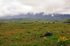 Wyeth's Biscuitroot southerly view #2 (Tony Frates) Tags: trappersloop scenicbyway morgancounty utah plateau grasslands balsamorhizasagittata arrowleafbalsamroot leymuscinereus sagebrush mountains clouds rainy wasatch