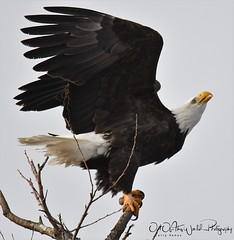 Bald Eagles (larryvenus) Tags: eagles baldeagles birdsofprey klamatheagles klamathfalls lowerklamathfalls lowerklamathfallswildliferefuge nikon nikonphotography nikond500 tamron tamronphotography tamron150600mmg2