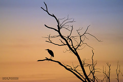 Heron (Artur Rydzewski) Tags: heron greyheron bird silhouette sky orange black shadow