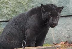 jaguar artis BB2A2219 (j.a.kok) Tags: jaguar jaguarcub jaguarwelp blackjaguar zwartejaguar rica zuidamerika southamerica artis kat cat animal mammal zoogdier dier predator pantheraonca
