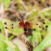 Calico Pennant dragonfly (male)