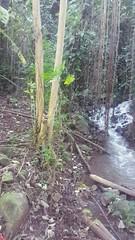 Wailua River State Park - Fern Grotto (54) (pensivelaw1) Tags: hawaii kauai wailuariverstatepark ferngrotto