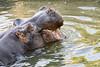 Un día en el zoo - Hipopótamo (Crisologo) Tags: zoo hipopotamo