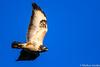 Common Buzzard (markus.jacobs1899) Tags: d500 natur tele tiere vögel wildtiere