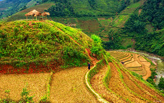 Mù Cang Chải (@Jarmila) Tags: a hmong woman rice field mu cang chai mùcangchải mù chải yên bái province lao cai north vietnam landscape travel nature erraced fields hills risaie ©jarmila