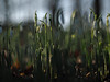 Hidden Place (Johntasaurus) Tags: minolta50mmf17 snowdrops