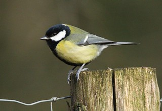 Great Tit on a post - Speech House woodland