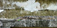 Descanso (grand poulet) Tags: varano lagarto canal klong chaophraya bangkok tailandia