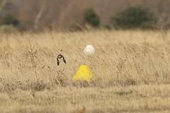 Southern Grey Shrike (lanius meridionalis) (mrm27) Tags: france shrike southerngreyshrike lanius laniusmeridionalis eyguieres
