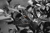 Buuuug (Craperture91) Tags: plants black white bug leaves selective colour