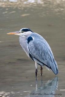 Gray Heron ©