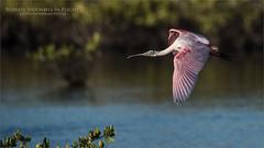 Roseate Spoonbill in Flight (Raymond J Barlow) Tags: spoonie spoonbill florida nature wildlife birdinflight pink travel workshop raymondbarlow