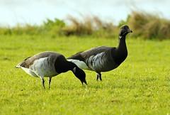 e n i  g  ma (j@nrod) Tags: brent brant hybrid goose