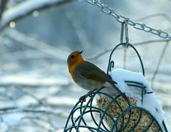 Erwischt (isajachevalier) Tags: rotkehlchen vogel tier wildtier natur winter garten panasonicdmcfz150