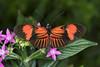 Postman Butterfly, Butterfly Park, Benalmadena, Spain (rmk2112rmk) Tags: postmanbutterfly butterflypark butterfly mariposario insect invertebrate dof bokeh macro heliconius melpomene