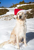 Hannah Noël 2017 (Hannah Adventure Dog) Tags: adventuredog adventure explorateur retriever pets pet regard puppy paysage scenery dogphotography doggy dog dogs dogphoto dogphotographie dogadventure dogchristmas canon canon750d chien sud snow southoffrance france face golden goldenretriever landscape ligthroom lubéron montagne montventoux montain ventoux canirandonnée nature animal hiver neige bonnet perenoel santaclaus