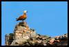 Ferruginea (Teone!) Tags: birdwatching brussa tadornaferruginea casarca caorle vallevecchia venezia veneto venice italia italy wildlife nature sky bird roof