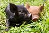 piggy kiss (hueymilunz) Tags: nz newzealandtransition newzealand wellington rural farm fauna florafauna green grass life nature