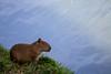 Capivara (Johnny Photofucker) Tags: capivara animal animale lagoa pampulha bicho 70200mm lightroom fauna museudapampulha map bh belohorizonte minasgerais mg