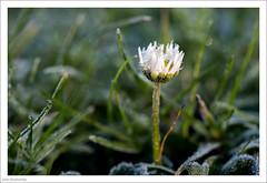 Frosted Daisy 362/365 (John Penberthy ARPS) Tags: 28dec17 365the2017edition 3652017 d750 day362365 flowersandplants johnpenberthy nikon daisy frost garden