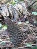 gunnera in winter (squeezemonkey) Tags: tetford lincolnshire gunnera winter leaves seedhead deadleaves garden gunneramanicata overwinter