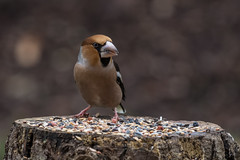Hawfinch  -  Kernbeisser (CJH Natural) Tags: kernbeisser hawfinch finch bokeh feedingstation feed snack bird vogel avian naturephotography wildlife