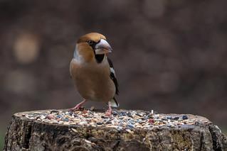 Hawfinch  -  Kernbeisser