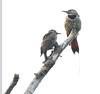 Northern Flicker -- Female with Offspring (Colaptes auratus);  Water Park, Kelowna, BC, Canada [Lou Feltz] (deserttoad) Tags: nature canada park bird wildbird songbird woodpecker behavior tree flicker lake
