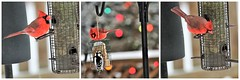 Red Rules theme ~ Cardinal triptych (karma (Karen)) Tags: baltimore maryland home backyard birds cardinals feeders dof bokeh christmaslights smileonsaturday cliche hsos hcs redrules topf25 hbw