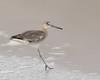 One-legged Willet Landing (dennis_plank_nature_photography) Tags: oneleggedwillet padreislandnationalseashore willet avian birds nature