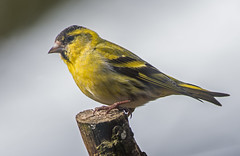 DSC4223  Siskin.. (jefflack Wildlife&Nature) Tags: siskin siskins finch finches farmland forest birds avian animal animals wildlife wildbirds wetlands woodlands songbirds hedgerows countryside nature coth5 ngc npc