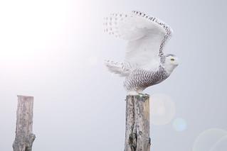 Snowy Owl preparing for lift off