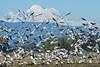 Snow Geese and Mount Baker (kathleen_kitto) Tags: goose snowgoose geese snowgeese mountbaker skagitvalley nikon nikon800