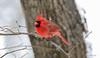 Male Northern Cardinal (Marietta Dooley) Tags: canon 5dmarkiv fullframe pennsylvania pennsylvaniawildlife urbanwildlife birds songbirds snow winter cardinal northerncardinal