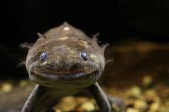 Mythical Creature? (IMG_9346) (katalin_kerekes) Tags: axolotl ambystomamexicanum salamander amphibian clydepeelingsreptiland
