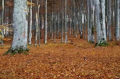 Mighty forest (Baubec Izzet) Tags: baubecizzet pentax forest autumn nature trees flickrunitedaward
