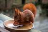 Servi dans l'assiette...! (minelflojor) Tags: écureuil noix roux squirrel red nuts