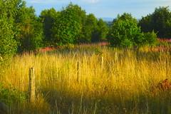 Warmer Days Will Return (Dave Roberts3) Tags: wales newport gwent gaer hillfort hill landscape willowherb rosebaywillowherb fence wildflower flower summer