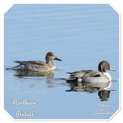 Northern Pintails (AlwaysLoveBirds) Tags: 162018 oklahoma city ok