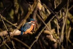 Kingfisher (Esox2402) Tags: kingfisher bird wildlife canon7dmkii sigma150600mm