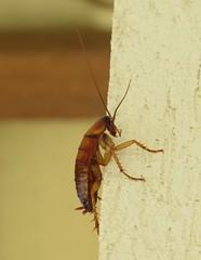 Barata (Cockroach) (Hélio Paranaíba Filho) Tags: inseto insetos insect insects natureza nature barata cockroach neoptera blattodea blattaria bug bugs