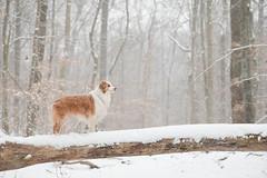 Snowy Uno (aussieinyellow) Tags: uno aussie australianshepherd inkwell snow winter