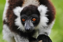 Black and White Ruffed Lemur (Varecia variegata) (Susan Roehl) Tags: madagascar2017 islandofmadagascar offtheeastcoastofafrica akaninnynofy palmariumreserve blackandwhiteruffedlemurs vareciavariegata criticallyendangered animal mammal herbivore mainlyfruit endemic largestextantmembers lemuridaefamily uptoninepounds upto39feetinlength arboreal highcanopy seasonalrainforests diurnal quadrupedalmotion frugivorous eatnectar flowers seeds leaves complexsocialstructure loudraucouscalls shortgestationperiod largelitters rapidmaturation sueroehl photographictours naturalexposures panasonic 100400mmlens handheld cropped ngc coth5 npc