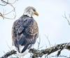 Bald eagle (Pattys-photos) Tags: bald eagle pattypickett4748gmailcom pattypickett