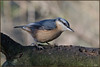 Nuthatch (image 2 of 3) (Full Moon Images) Tags: rspb sandy lodge thelodge wildlife nature reserve bedfordshire bird nuthatch