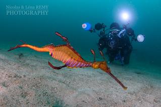 Pete photographying a seadragon